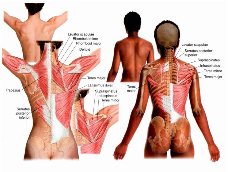 kręgosłup mięśnie 1