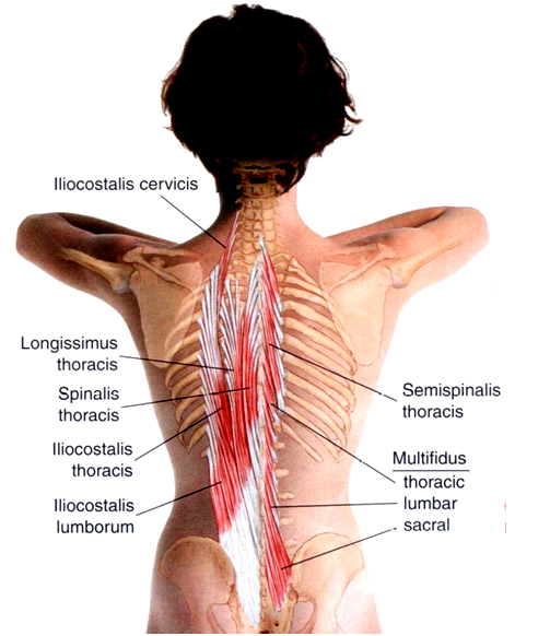 kręgosłup mięśnie 2